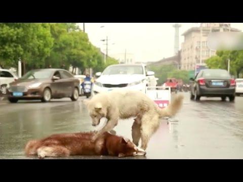 صوت الإمارات - شاهد كلب يرفض ترك جثة صديقه في الصين