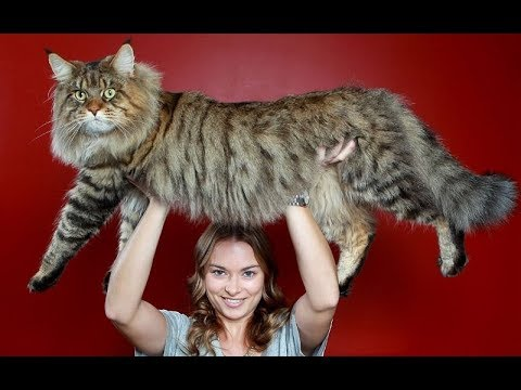 صوت الإمارات - شاهد أضخم 10 سلالات القطط في العالم