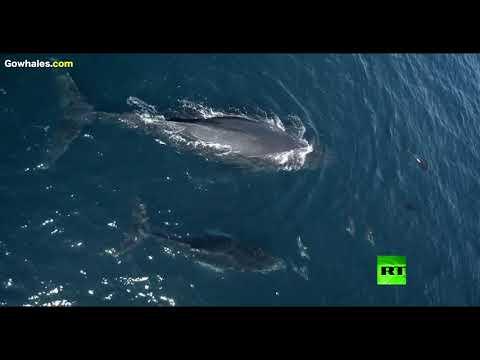 لقطات نادرة لـ1500 دلفين تلاعب الحوت