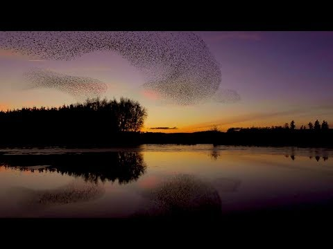 a rare sight thousands of starlings swoop above cumbria
