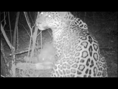 footage wild puma eats a bull in mountains recorded for the first time