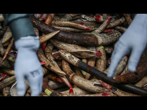 africa's fight against elephant poachingasia's role in ending illegal ivory trade