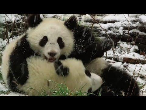cute alert playful panda twins enjoy first snowfall at vienna zoo