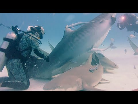 man feeds massive pregnant tiger shark by hand