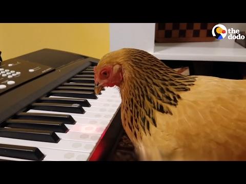 صوت الإمارات - شاهد دجاجة تعزف نشيدًا وطنيًا أميركيًا