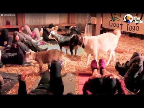 صوت الإمارات - افتتاح مدرسة ليوغا الماعز في أميركا