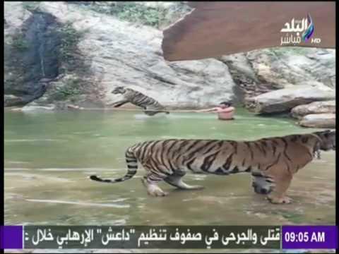 صوت الإمارات - شاهد نمر ضخم يلعب مع حارسه في الماء