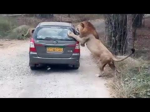 صوت الإمارات - بالفيديو لحظة هجوم أسد على سيارة سفاري في الهند