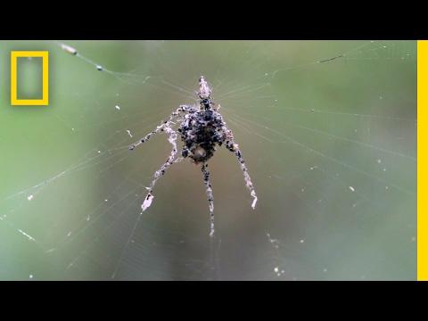 صوت الإمارات - عنكبوت يبني مجسمًا ضخمًا لنفسه من جثث فرائسه