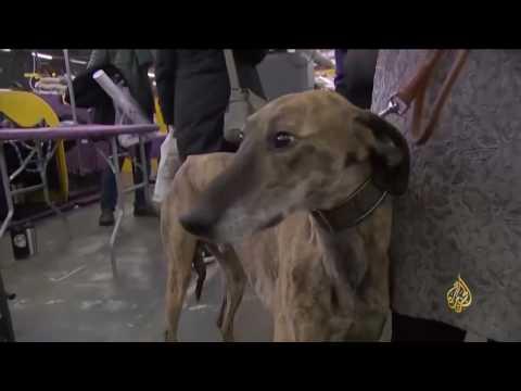 صوت الإمارات - كلاب نيويورك تتسابق للفوز بألقاب في الجمال