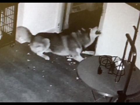 صوت الإمارات - بالفيديو كلب يهرب من قفصه مع أصدقائه في المنزل