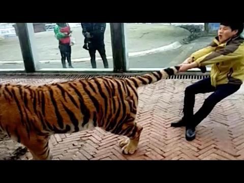 صوت الإمارات - صيني يجر النمور من ذيلها دون خوف