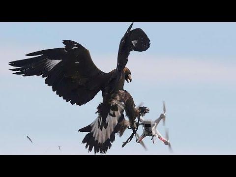 صوت الإمارات - بالفيديو الجيش الفرنسي في العراق يدرّب النسور على اصطياد طائرات داعش