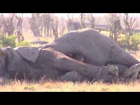 صوت الإمارات - بالفيديو  مشهد غريب لضبع يخرج من بطن فيل