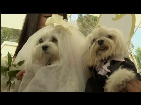 صوت الإمارات - شاهد حفلة زفاف رائعة لمجموعة من الكلاب