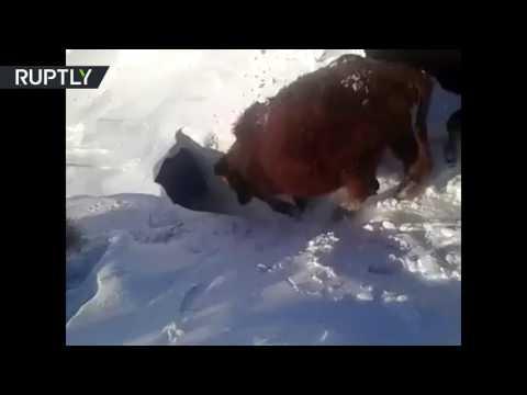 صوت الإمارات - بالفيديو أبقار تعيش تحت الثلوج في كازاخستان