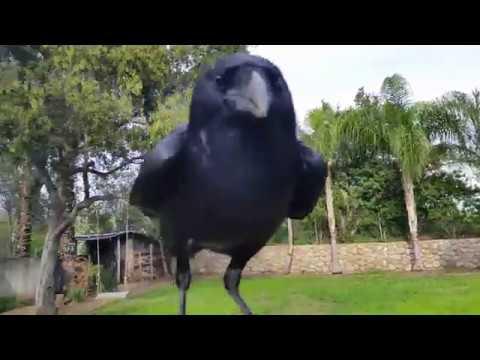 صوت الإمارات - شاهد غراب يعتبر نفسه طائر أليف