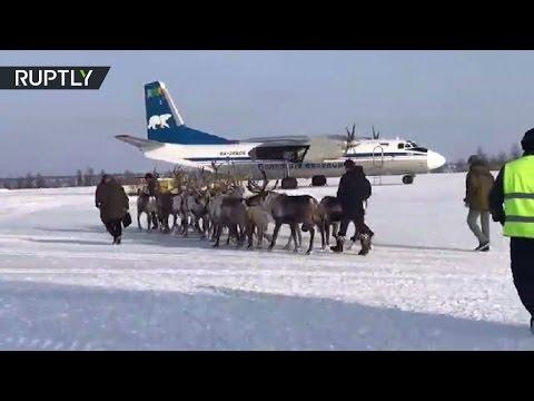 صوت الإمارات - شاهد حيوانات الرنة على متن طائرة نقل an26
