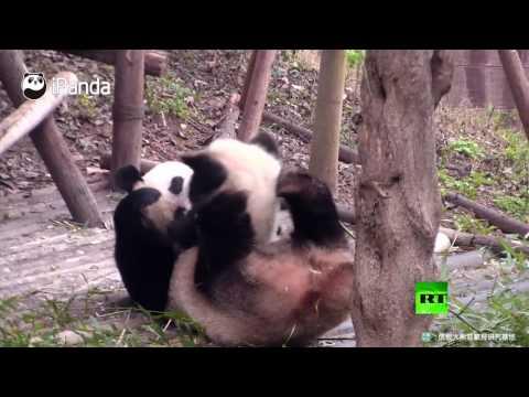 صوت الإمارات - شاهد لحظات جميلة لعائلة باندا من تشنغدو الصينية