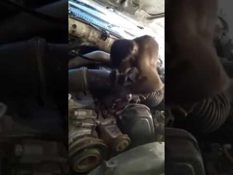 صوت الإمارات - شاهد قرد يعمل بمهنة ميكانيكي في عرعرة النقب في فلسطين