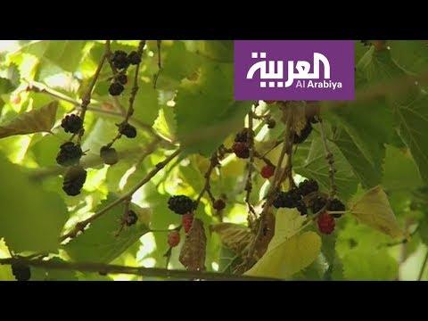 صوت الإمارات - شاهد توت الطائف من أغلى الثمار الموسمية