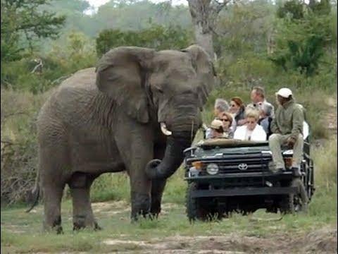 صوت الإمارات - شاهد فيل ضخم يثير فزع سياح داخل حديقة سفاري
