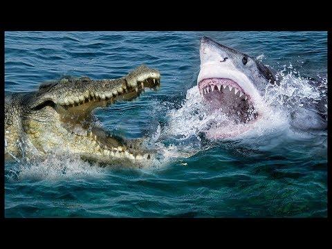 صوت الإمارات - شاهد معركة داخل النهر سمكة القرش مقابل التمساح