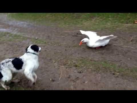 صوت الإمارات - شاهد معركة كوميدية بين بط وكلاب