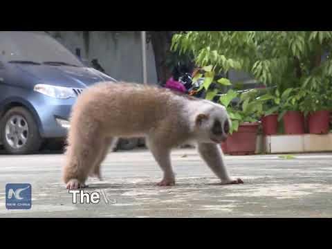 صوت الإمارات - بالفيديو الشرطة تنقذ حيوان لوريس بطيء