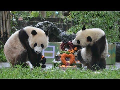 صوت الإمارات - بالفيديو الصين تحتفل بعيد الميلاد الثاني لتوأم الباندا العملاقة