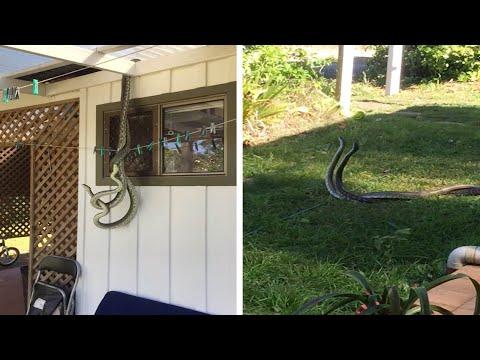 صوت الإمارات - بالفيديو بريطاني يرصد تزاوج ثعابين أمام نافذة مطبخه