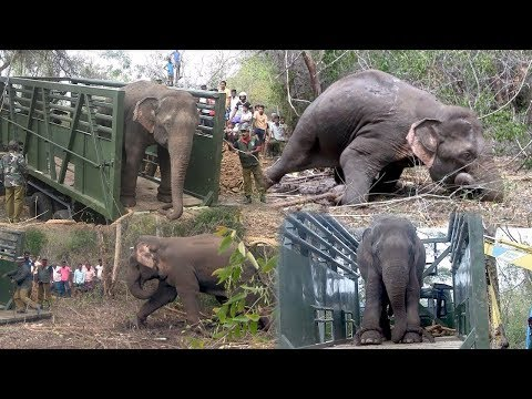 صوت الإمارات - شاهد كيف يقوم الهنود باحتجاز الفيلة رغم ضخامتها