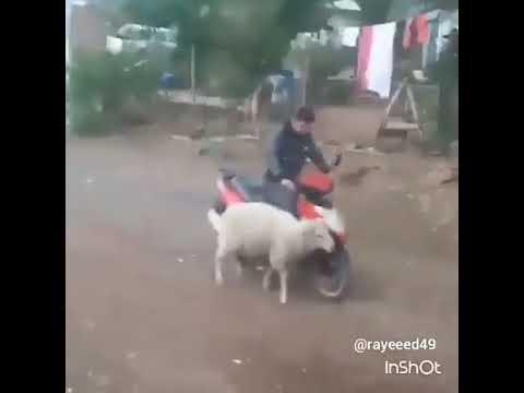 صوت الإمارات - شاهد خروف يلقن شابا درسا قاسيا