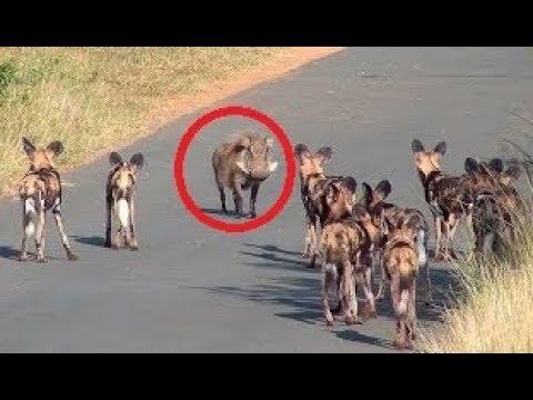 صوت الإمارات - شاهد أشرس أنواع الصراعات بين الحيوانات البريّة