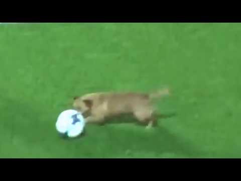 صوت الإمارات - شاهد كلب صغير يقتحم ملعب مباراة في الأرجنتين