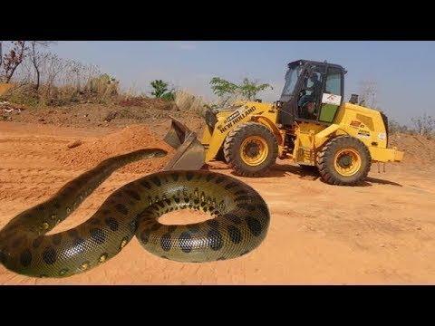 صوت الإمارات - شاهد أضخم وأكبر ثعبان أناكوندا في العالم