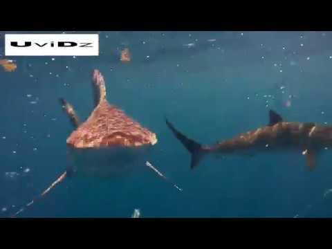 صوت الإمارات - شاهد غواص يسبح وسط أسماك القرش في فلوريدا