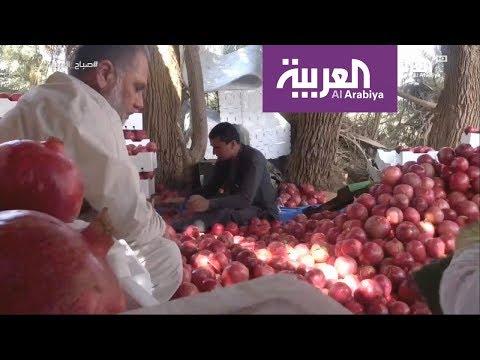 صوت الإمارات - بالفيديو القصيم تتباهى برمانها الفريد