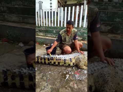 شاهد رجل شجاع يحمم تمساحًا بالماء والصابون
