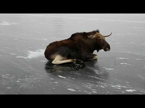 شاهد  لحظة إنقاذ حيوان الموس المحاصر وسط الجليد