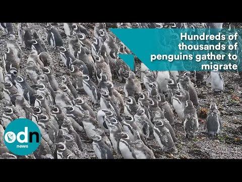 بالفيديو مليونية لطيور البطريق استعدادا للهجرة الشتوية
