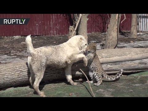 شاهد صداقة قوية بين كلب وفهد حيِّرت العالم