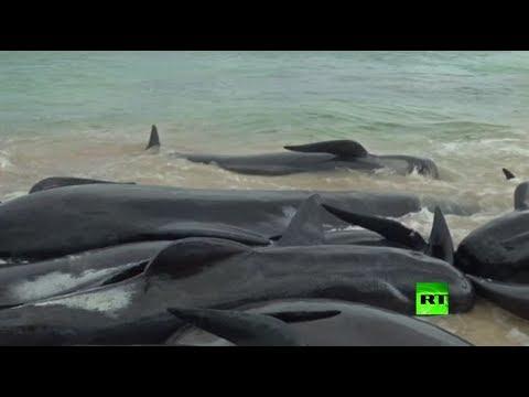شاهد انتحار جماعي للدلافين على شاطئ أسترالي