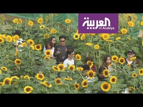 شاهد متاهات برائحة زهور عباد الشمس في الفلبين