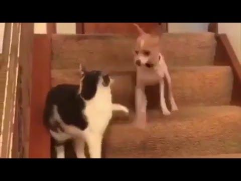 شاهد قط يهاجم كلبًا محدثًا في إصابات