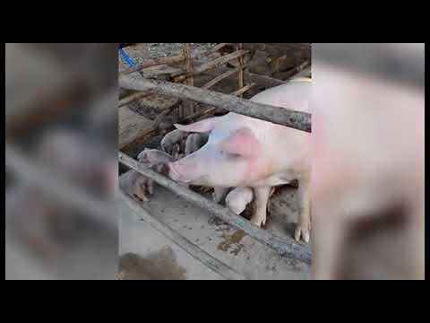 شاهد لقطات مرعبة لخنزير غريب