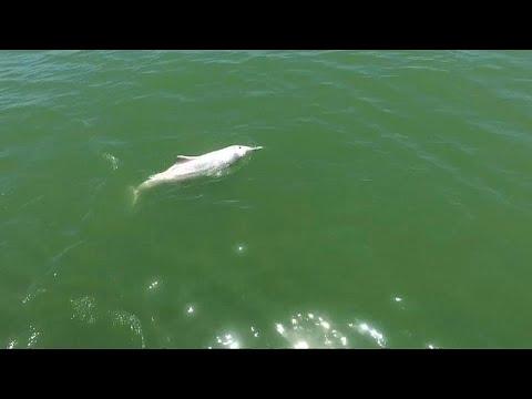 شاهد الدلافين الوردية تصارع من أجل البقاء بسبب جسر الصينهونغ كونغ