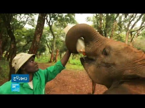 شاهد فيلة أفريقيا الوسطى مهددة بالاختفاء كليا من الكوكب خلال عشر سنوات