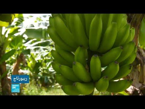 شاهد الموز متهم بتسميم الأرض والسكان في الأنتيل الفرنسية