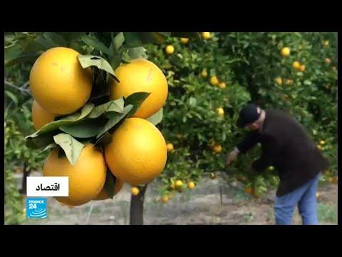 شاهد زراعة الحمضيات تشهد تراجعًا في قطاع غزة